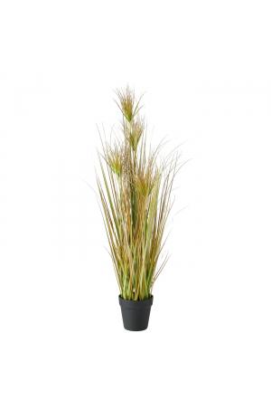 Topfpflanze , Zwiebelgras, Ind